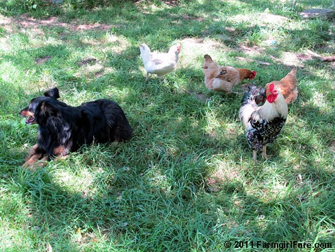 Lucky Buddy Bear on chicken alert - not. 1 FarmgirlFare.com