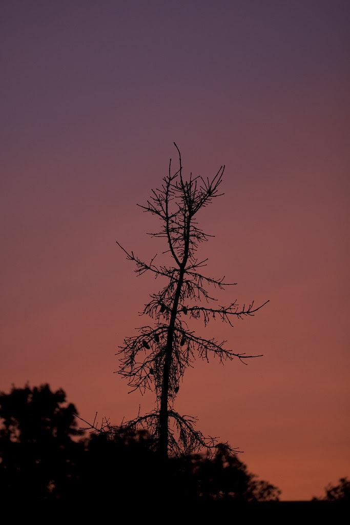 sunset behind pinecones2