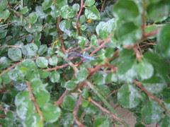 dragonfly in shrub