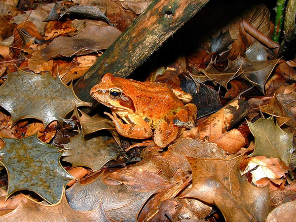 Camouflage Brownish Frog