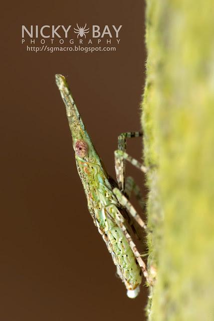 Fulgorid Planthopper (Fulgoridae) - DSC_1424