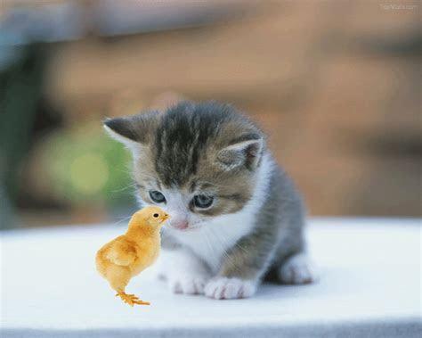 Gambar Kucing Anggora Lucu Semua Yang Kamu Mau