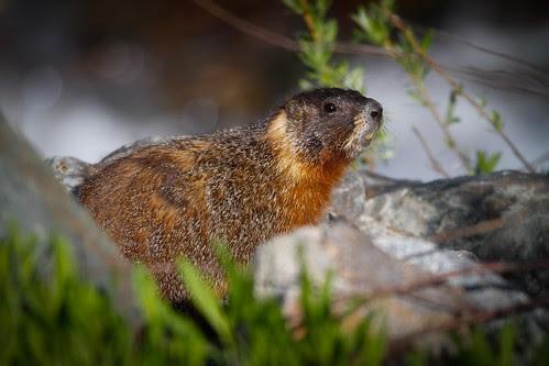 Yellow-bellied marmot-4.JPG