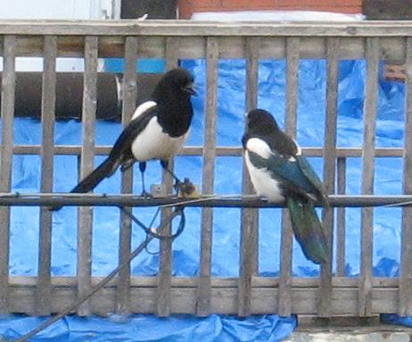 Black-billed Magpies