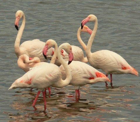 File:Pinkflamingos.jpg
