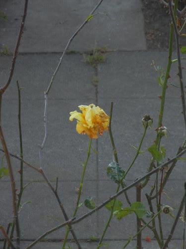 DSCN7371 _ Yello Rose