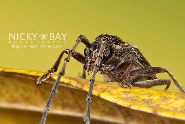 Longhorn Beetle (Cerambycidae) - DSC_6019
