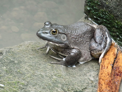American bull frog..<b><span class=