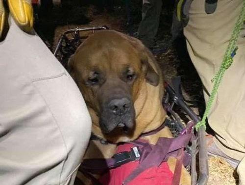 Un perro mástil agotado recibió feliz la ayuda extra que necesitaba para bajar la montaña