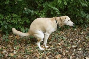 dogs-poop