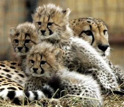 http://muhammaddaniel99.files.wordpress.com/2009/05/2005_0204_cheetah_cubs07.jpg
