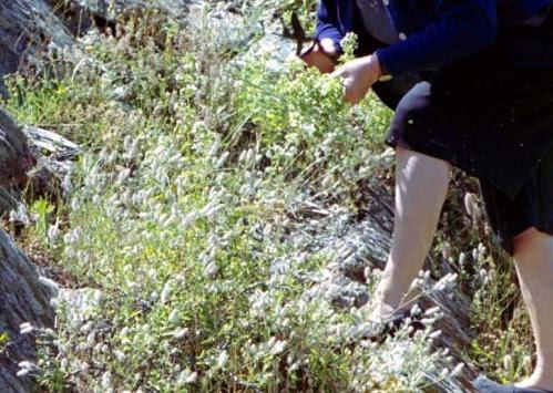 Σε κίνδυνο τα αρωματικά φυτά της Κρήτης αν δεν ληφθούν μέτρα