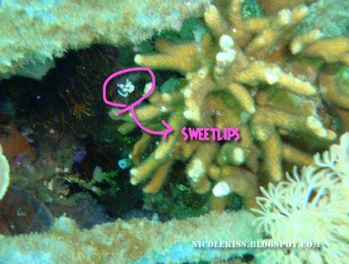 small sweetlips