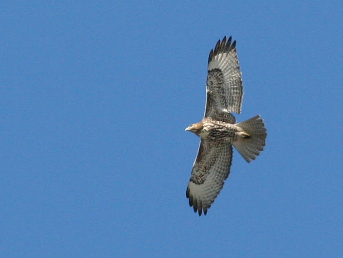 Hawk (Doesn't Appear to be a Redtail)