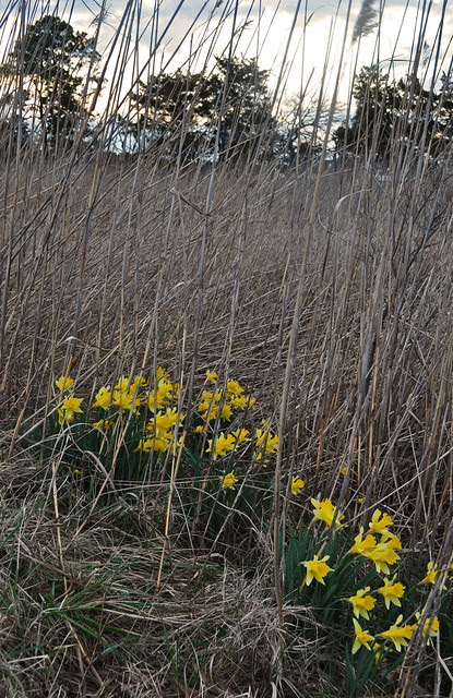 Wild Narcissus