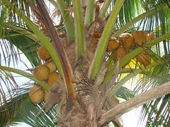 Coco dorado [Coconut] (Cocos nucifera) (Frutos...