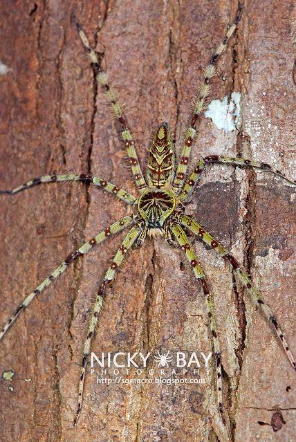 Huntsman Spider (Heteropoda boiei) - DSC_2048