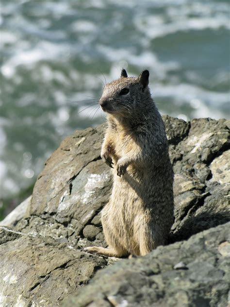 Ground squirrel   Wikipedia