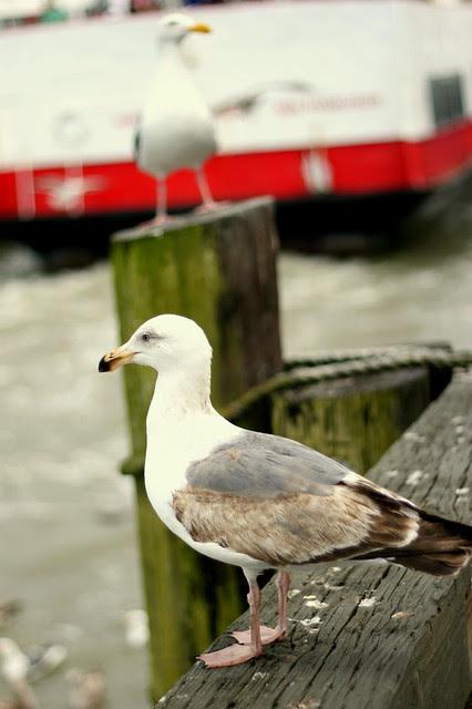 Giant Gulls