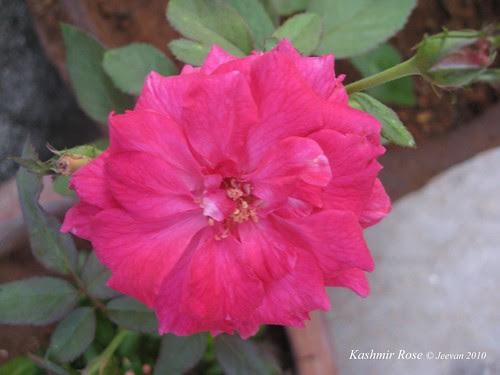 Kashmir rose