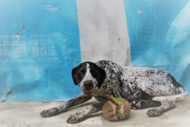 Bonnie – 5 month old female German Short-Haired Pointer Cross