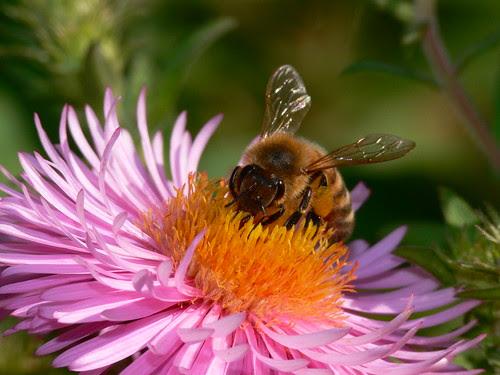 Closeup of a honeybee on a pink flower