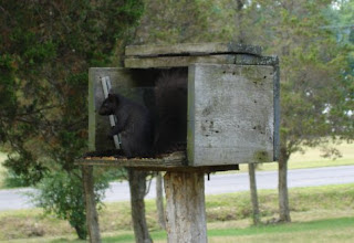 black squirrel eating bird seed