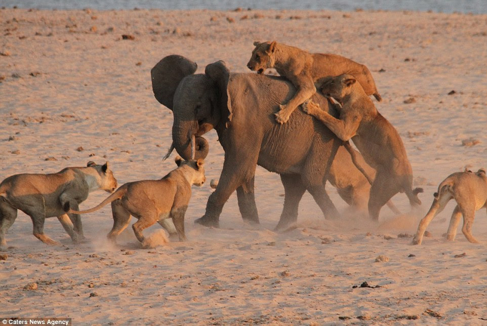 Ride along: The elephant tries to keep moving as the lionesses sink in their teeth and claws during the sunset battle in Zambia