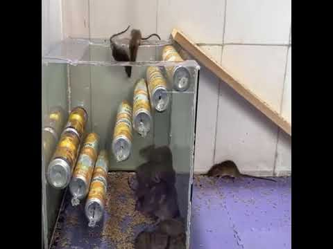 Mẹo chế bẫy chuột từ thùng nhựa trong và các lon nước ngọt bỏ đi