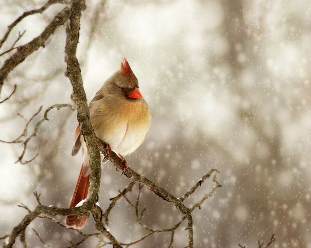 Female cardinal in snow bokeh by K.Young Photography, via Flickr