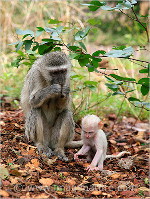 Vervet Monkey (Chlorocebus pygerythrus) with albino baby