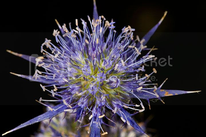 photo Flor-Monsanto_zps98e09737.jpg