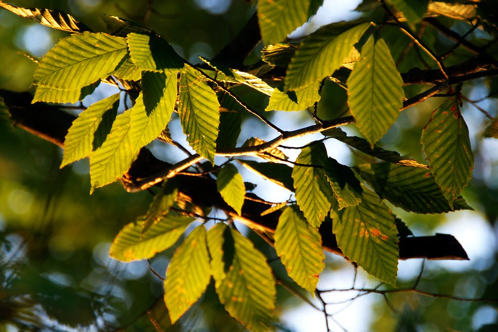 Light on beech leaves.
