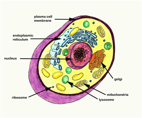 animal cell coloring pages  page site