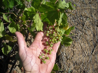 First Grapes from the Vineyard
