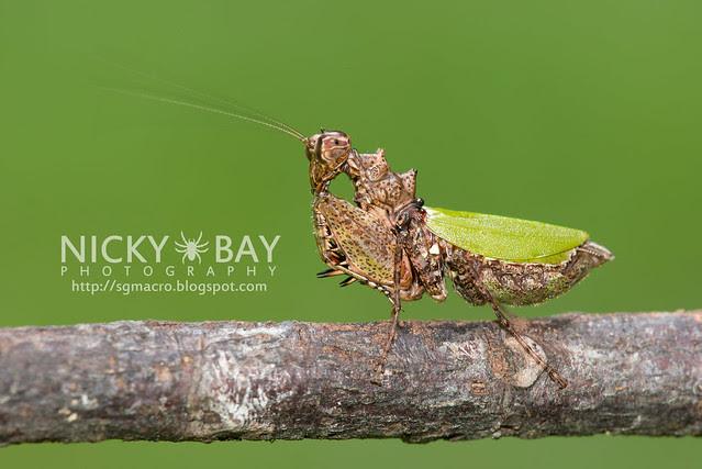 Pachymantis bicingulata - DSC_0619