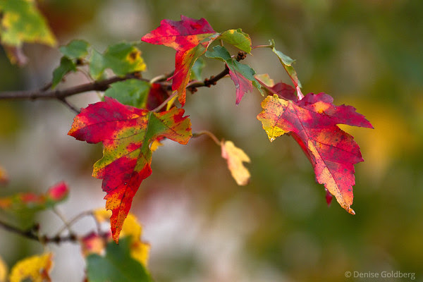 red and yellow and green, autumn leaves