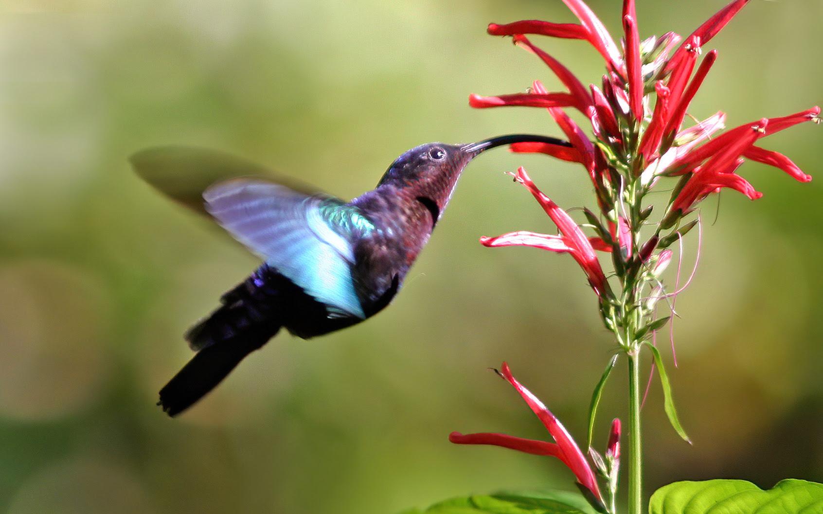http://upload.wikimedia.org/wikipedia/commons/4/46/Purple-throated_carib_hummingbird_feeding.jpg