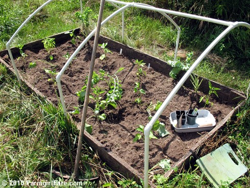 Planting Sweet Peppers 5