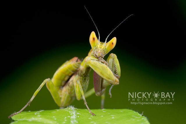 Flower Mantis nymph (Hymenopodidae?) - DSC_3690