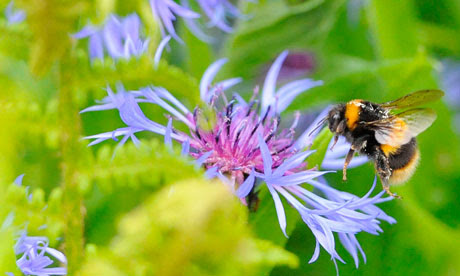 A bumble bee prepares to land on a plant in Boroughbridge