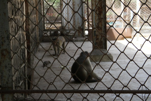 Rats Roam Freely With The Monkeys At Rani Bagh Mumbai Zoo Byculla by firoze shakir photographerno1