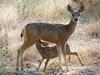 mule deer fawn still not weaned