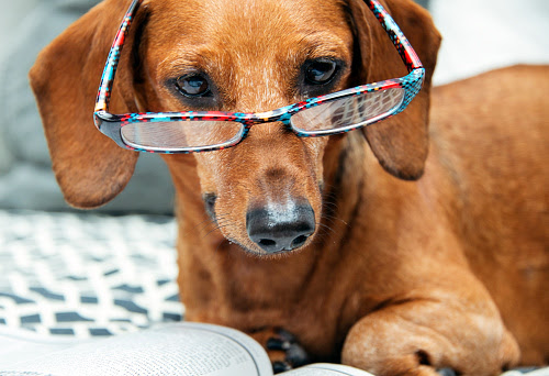 Image result for dachshund wearing glasses
