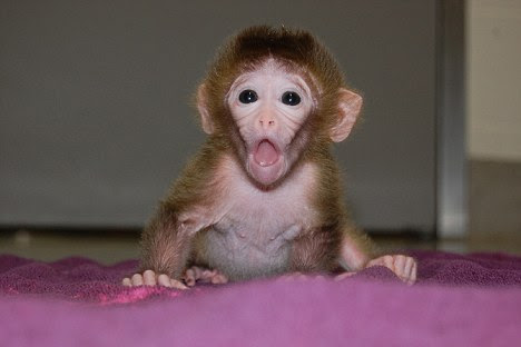 Roku: The monkeys were created by 'gluing together' cells from several other embryos