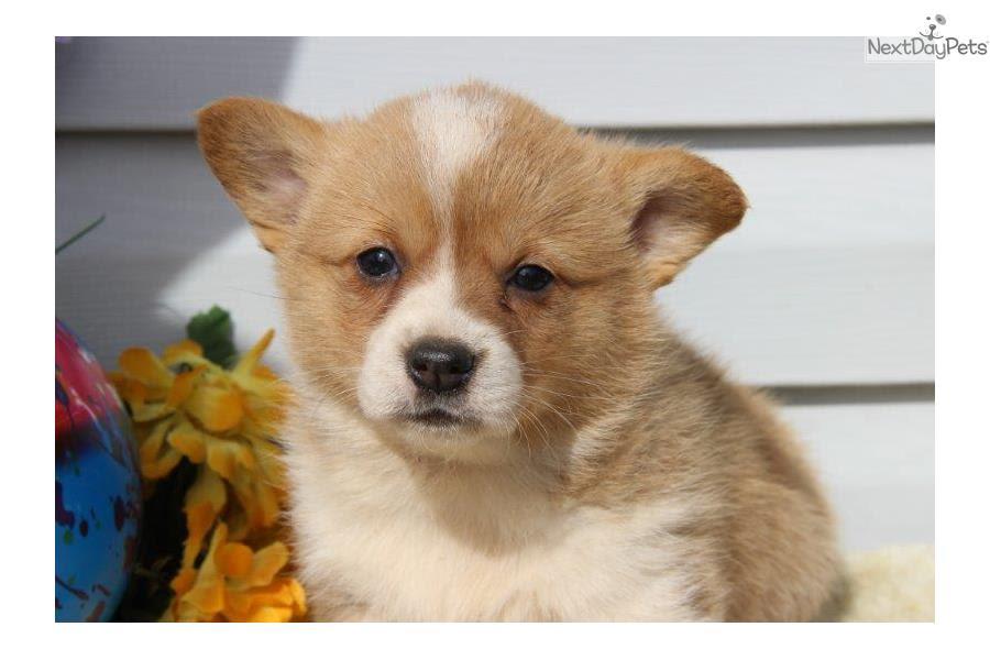 Corgi puppy for sale near In Greece