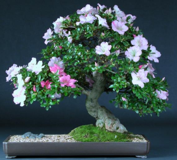 Azalea Bonsai Tree Care Instructions Bonsai Tree