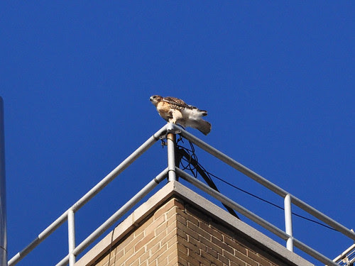 Hawk Fledgling at St. Luke's