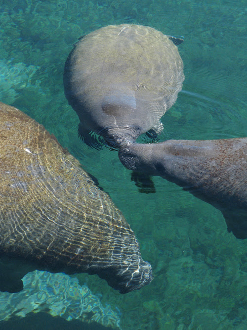 manatees enjoy the sun and each other at Weeki Wachee Springs, Florida