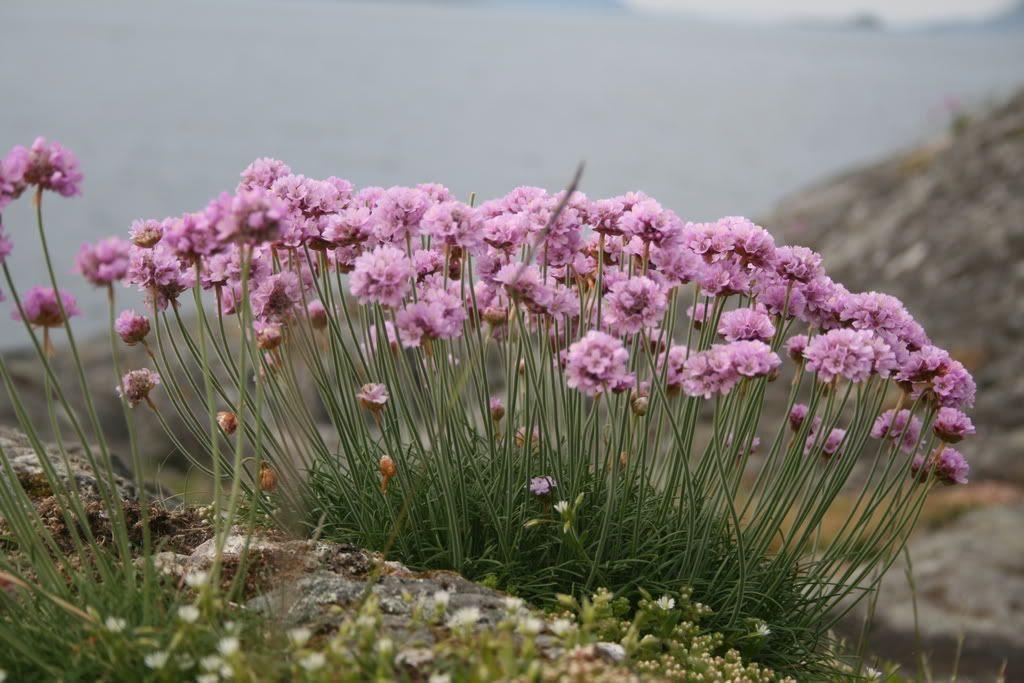 Blomster på Havreneståa...